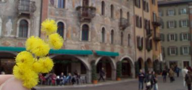 mimose in piazza Duomo