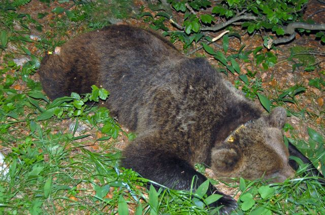 l'orsa Jurka subito dopo la cattura