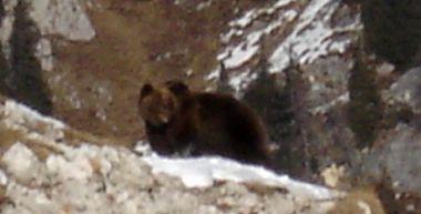 L'orsa Jurka a Madonna di Campiglio